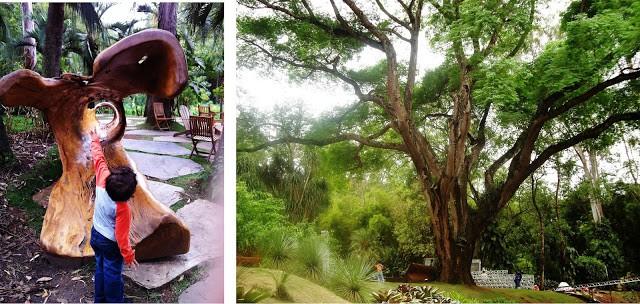 bancos-árvores e a maior árvore do Inhotim