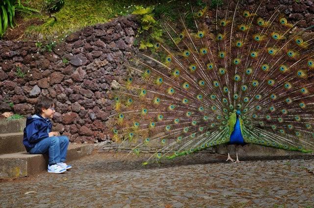 pavão no Jardim Monte Palace