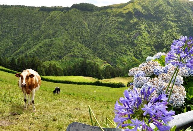 Vacas dos Açores
