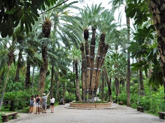 Palmeira imperial em Elche