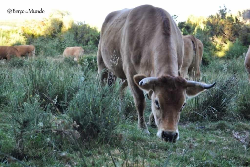 vacas à entrada da aldeia